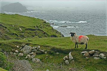 Sheep marked for identification and fog, Atlantic Drive, Achill Island, Ireland