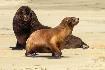 New Zealand sea lion (Phocarctos hookeri), also known as Hooker's sea lion or Whakahao (in Maori). Couple of sea lions on the beach of Otago Peninsula (Sandfly Bay), New Zealand