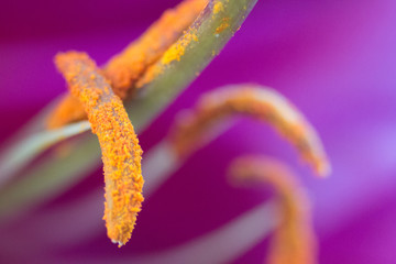 Center of a Lily Flower