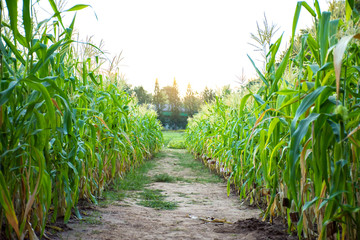 Corn field with soil walk way in middle of the picture.