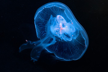 Aurelia aurita jellyfish close-up in aquarium