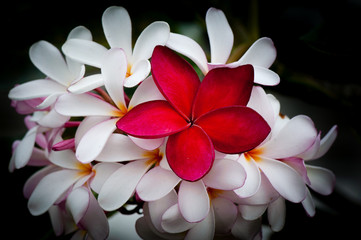 Autocollant pour porte Frangipanni plumeria are tropical trees famous