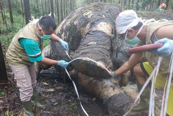 BKSDA veterinarians examine a Sumatran elephant which died at the industrial timber plantation of PT Arara Abadi in Siak