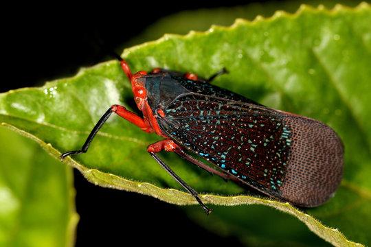 Lantern Fly, Kalidasa lanata, Agumbe, Karnataka, India