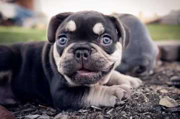 Tuinposter Franse bulldog Happy French Bulldog Puppy