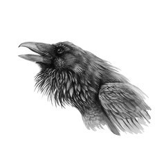 Black raven or crow realistic watercolor illustration. Hand drawn close up detailed graphic bird portrait ( Corvus corax ). Beautiful wild animal isolated on white background.