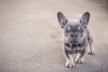 Curious French bulldog puppy standing alone outside
