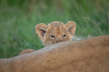 Cute lion cub Wall mural