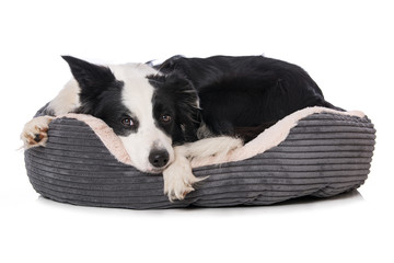 Border collie dog lying in a dog bed