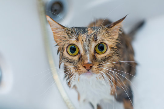 The striped three-colored cat looks with big eyes, is afraid of water, does not want to wash and tries to escape from the bath.