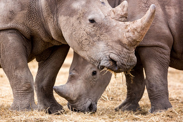 Foto op Canvas Neushoorn Close up of two white rhinoceros eating grass, Namibia, Africa
