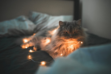 Сute emotional gray fluffy cat lays with lights in the garlands in a cozy bed at night and looks at the camera. Close-up photo of a fluffy cat lying in bed on dark bed linen. Pet concept.