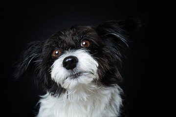 Chinese crested powderpuff dog on black background