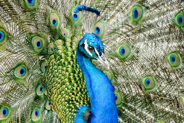 Fotobehang Pauw peacock with feathers out, in Lisbon Capital City of Portugal