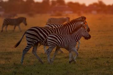 Aluminium Prints Zebra Zebra at Dusk