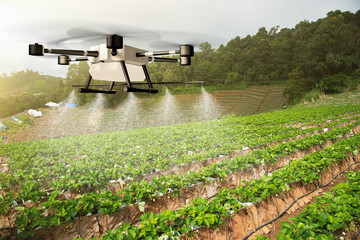 Agriculture drone fly to sprayed fertilizer on the Strawberry Farm. Agricultural technology concept. - Image