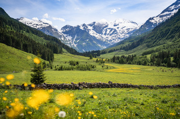 Fotobehang Alpen Beautiful panoramic view of rural alpine landscape with cows grazing in fresh green meadows neath snowcapped mountain tops on a sunny day in spring, National Park Hohe Tauern, Salzburger Land, Austria