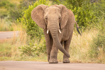 An elephant on the move and walking towards the camera, Pilanesberg National Park, South Africa.