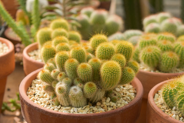 Photo sur Aluminium Cactus cactus, cactus background, cactus from Thailand country