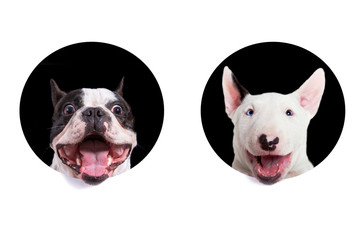 French bulldog and bullterier muzzles looking from the holes of white background