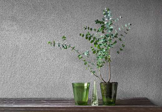 Silver Drop Eucalyptus Gunnii plant, sometimes called a Cider Gum.