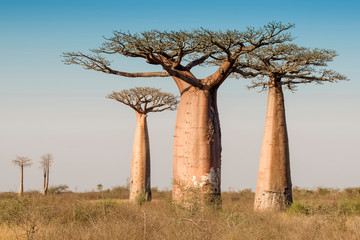 Beautiful Madagascar Baobab. Madagascar. Africa