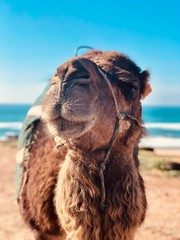 Poster Kameel up close camel face with blue sky and ocean