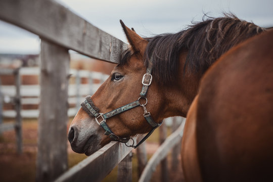 portrait of beautiful gelding horse with blue eyes in halter in paddock near fence in daytime in autumn landscape