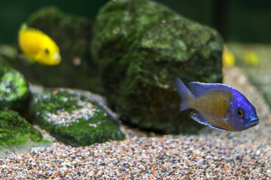 Small blue fish swims along bottom of ocean or aquarium, followed by a yellow fish in blur. Side view with free copy space for text