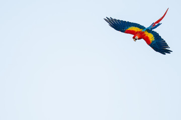 Isolated flying tropical parrot with copy space. Scarlet macaw on the sky