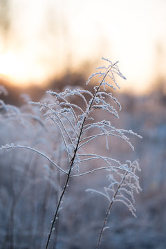Wildflowers covered with snow, frost and ice. Winter landscape in the setting sun
