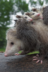 Closeup of Virginia Opossum (Didelphis virginiana) With Joeys on Her Back Summer