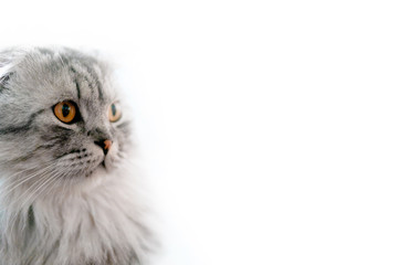 Big gray cat with yellow eyes isolated on a white background. British lop-eared cat. Huge. Looking to the right Wall mural