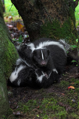 Striped Skunk (Mephitis mephitis) Holds Kits Down Summer
