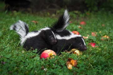 Striped Skunk (Mephitis mephitis) Kits Together With Apples Summer