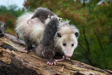 Virginia Opossum (Didelphis virginiana) Carries Joeys Down Log Summer