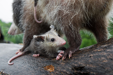 Virginia Opossum Joey (Didelphis virginiana) Clings to Mothers Back Leg Summer