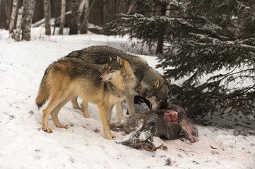 Trio of Grey Wolves (Canis lupus) and Deer Carcass Winter
