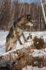 Black Phase Grey Wolf (Canis lupus) Paws On Log Looks Right Winter