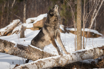 Black Phase Grey Wolf (Canis lupus) Paws On Log Nose in Air Winter