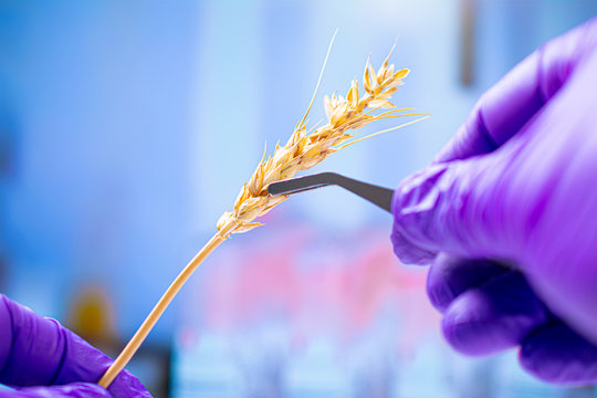 Professional scientist with gloves examining wheat ears, experiments in chemical laboratory