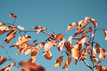 Dry leaves of wild cherry tree in autumn season over blue sky background.