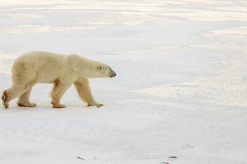 Printed roller blinds Polar bear Polar bear walking across ice