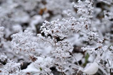 frost covered flowers of alchemilla vulgaris on november morning