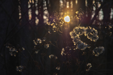 晩秋の北海道。黄昏の森で逆光に輝く冬の花。 Fototapete