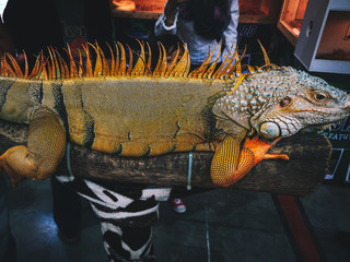 Close up photo of an iguana