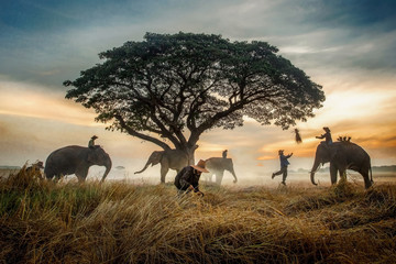 The silhouette of a person riding an elephant in a field near trees at the sunset time. Asian farmer working in the field.