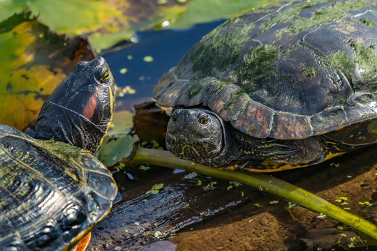 Western Painted Turtles Juanita Bay Park Lake Washington Kirkland Washiington