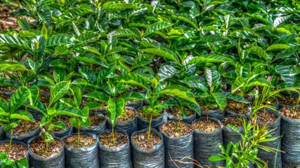 coffee plants growing