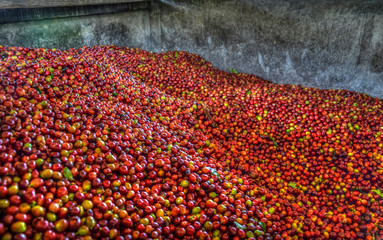 mountain of red ripped arabica coffee beans in a colombian farm being picked by hand traditionally. Excelsior gourmet beans